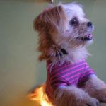 ペキニーズのミックス犬画像まとめ、ペキフリーゼ、ペキシー・ズーなどミックス犬仲間特集