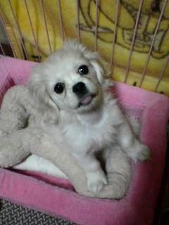 ペキニーズミックス犬