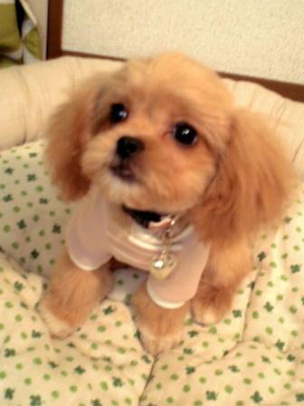 ペキニーズミックス犬プリン
