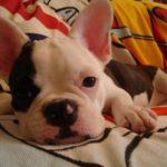 フレンチブルドッグのミックス犬、ボストンテリアとのミックス犬など人気画像まとめpart1