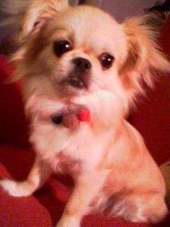 ペキニーズミックス犬ミミミ