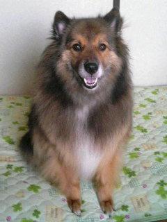 シェットランドシープドッグミックス犬レイ