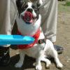 フレンチブルドッグのミックス犬、シーズーとのミックス犬など人気画像まとめpart2