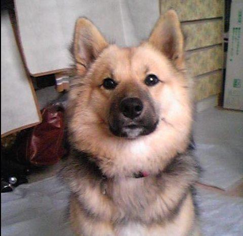 柴犬の人気ミックス犬の画像まとめ、ポメシバ、マルシバ柴犬のミックス犬特集part3