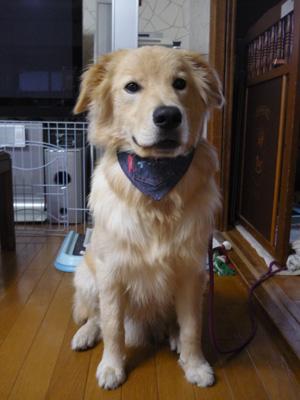 ボーダーコリーミックス犬