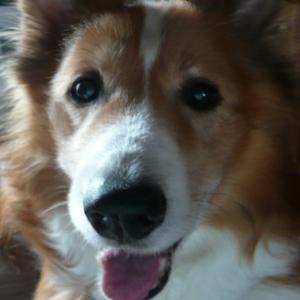 シェットランドシープドッグミックス犬クッキー