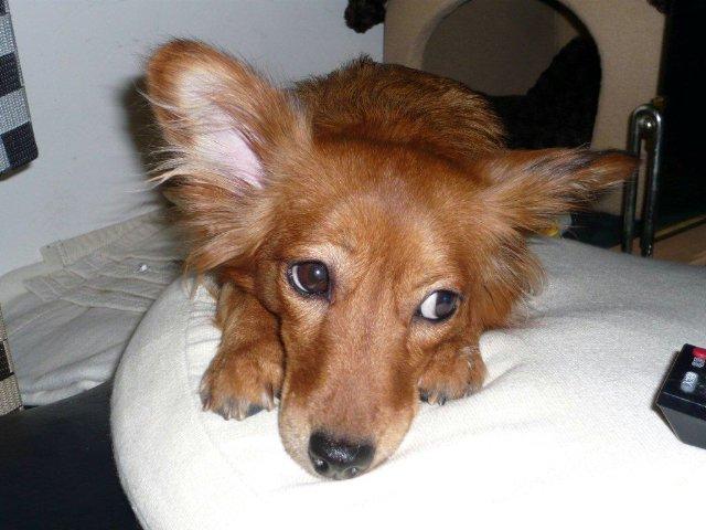 柴犬の人気ミックス犬の画像まとめ、シェパシバ、柴コーギー、柴犬のミックス犬特集part4
