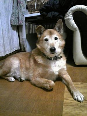 シェットランドシープドッグミックス犬ジャック
