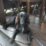シェットランドシープドッグのミックス犬画像まとめ8選 シェルティーのミックス犬紹介パート1