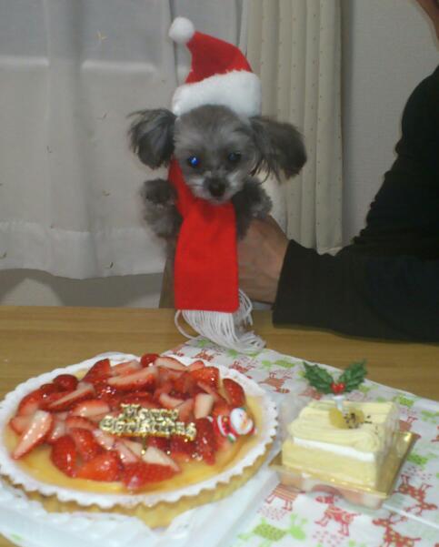 ミックス犬チワプーノアル