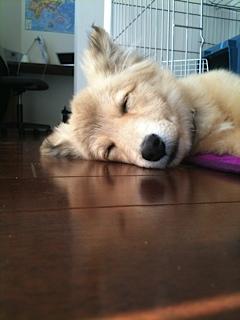 シェットランドシープドッグミックス犬MOF