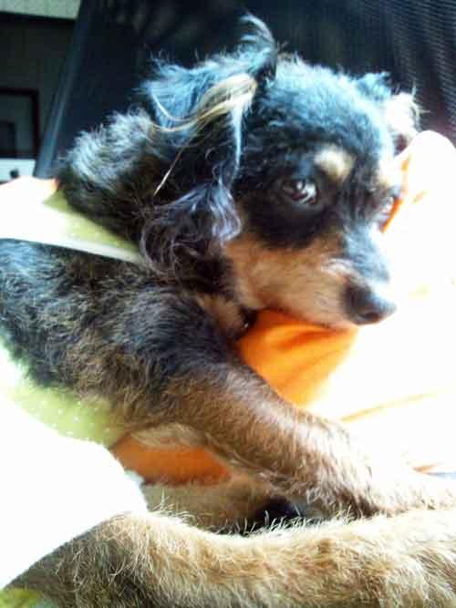 ミックス犬チワプーマロン