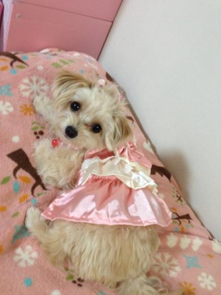 ミックス犬チワプーRei