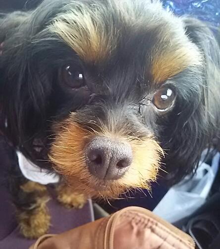 ミックス犬チワプーmelu