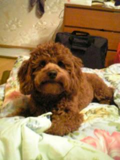 ミックス犬チロル