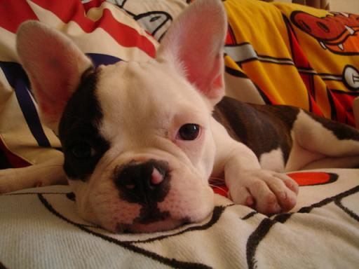 フレンチブルドックミックス犬
