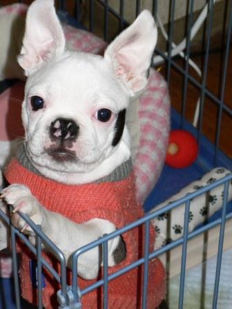 フレンチブルドッグミックス犬セロ