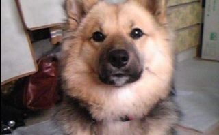 柴犬の人気ミックス犬の画像まとめ