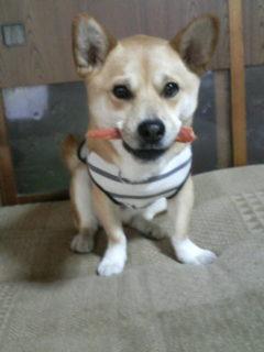 柴犬ミックスこんぶ