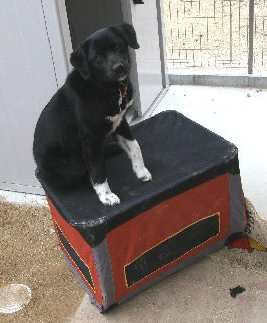 ボーダーコリーミックス犬ムクゲ