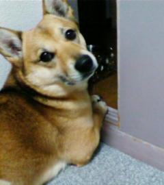 柴犬ミックス犬ラン