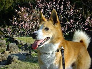 柴犬ミックス犬シュート