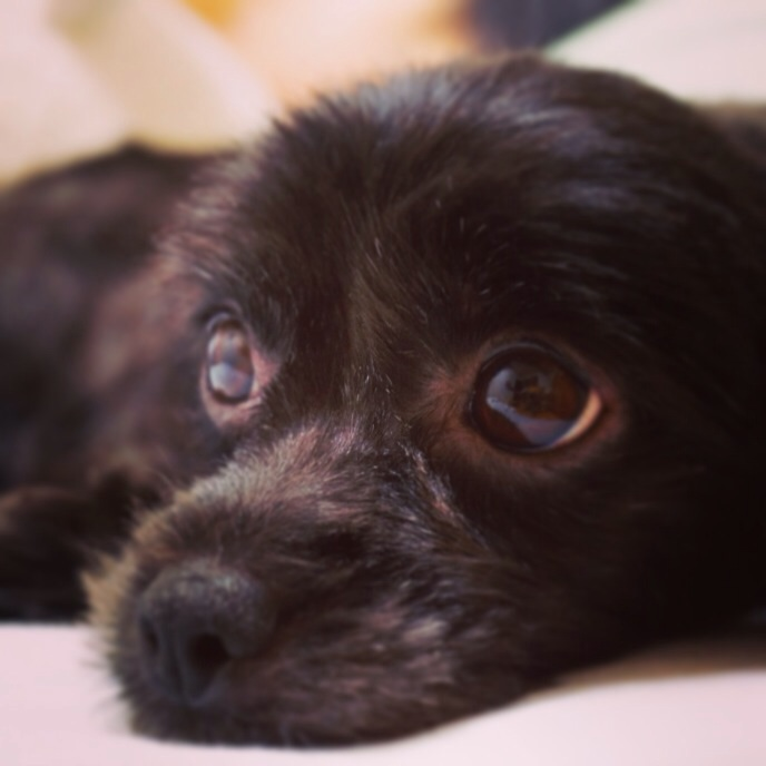 ミックス犬チワプーモモ